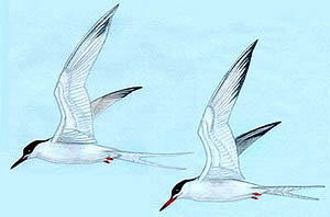 Roseate tern and common tern in summer