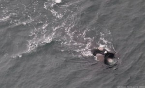 Right whale EgNo2753 high skim feeding