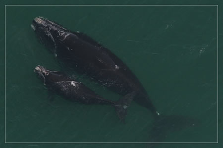 Humpback whales mother and calf